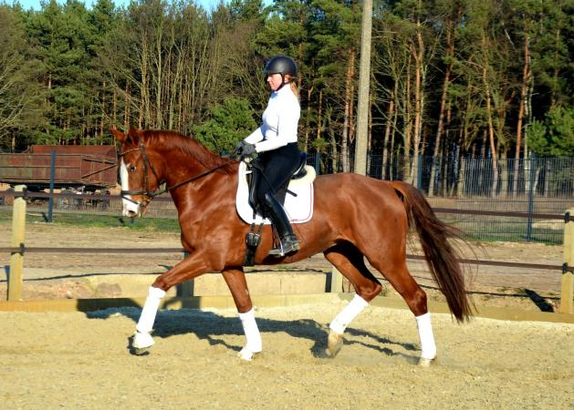 Dressage Horses by Dauphin - Donnerhall x Rotspon