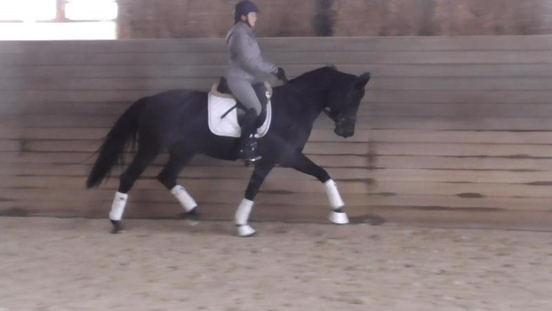 Dressage Horses by Lord Leopold x Polarpunkt